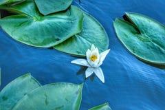 Вода lilly стоковое изображение rf