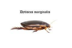 вода marginalis dytiscus черепашки плавая Стоковые Изображения