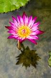вода nymphaeaceae лилии Стоковая Фотография RF