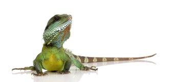 вода physignathus дракона cocincinus индийская Стоковая Фотография RF