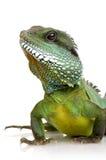 вода physignathus дракона cocincinus индийская Стоковое Изображение