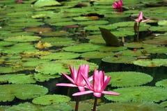 вода pik лилии Стоковые Изображения RF