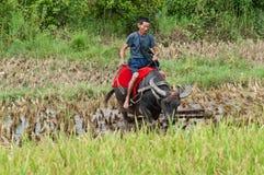 вода riding буйвола Стоковая Фотография RF
