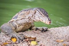 вода varanus salvator монитора ящерицы Стоковая Фотография RF