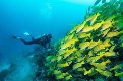 Водолаз акваланга наблюдает большой рой желтых луцианов Стоковое Фото