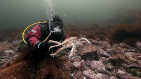 Водолаз играя с камчатскими крабами под водой на морском дне Камчатки акции видеоматериалы