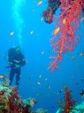 водолаз коралла Стоковое Изображение