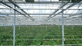 Водоразделы и оборудование освещения в питомнике для растущих желтых роз в промышленном парнике видеоматериал