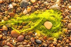 Водоросль, морская водоросль на песчаном пляже Балтийского моря стоковая фотография rf