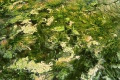 водоросль 6 Стоковые Изображения