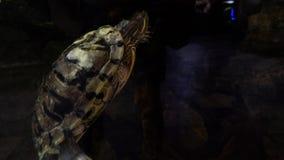 Водяная черепаха в воде Красная ушастая водяная черепаха - elegans scripta Trachemys Красно-bellied черепаха в аквариуме Стоковое Изображение RF