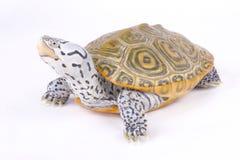 Водяная черепаха Каролины с ромбовидным рисунком на спине, centrata водяной черепахи Malaclemys Стоковое Изображение RF
