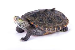 Водяная черепаха Техаса с ромбовидным рисунком на спине, littoralis водяной черепахи Malaclemys Стоковые Фотографии RF