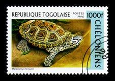 Водяная черепаха Malaclemys с ромбовидным рисунком на спине водяной черепахи, serie черепах, около 1996 Стоковые Изображения