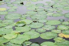 Вод-лилии Листья лотоса в пруде вода лотоса листьев падений стоковые изображения rf
