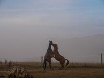 Воевать 2 коричневый лошадей Стоковое Изображение