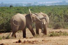 Воевать слонов Bull Стоковые Изображения RF
