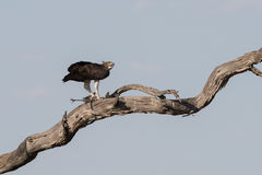Военная птица Гвинеи убийства орла стоковая фотография