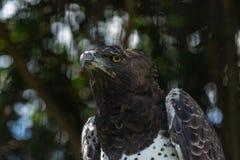 Военный орел с ушибом к нему крыло и глаз стоковое фото rf