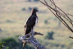 Военный орел на своем окуне Стоковое фото RF