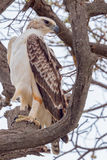 Военный орел, неполовозрелый стоковые фотографии rf