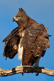 Военный орел Стоковые Изображения