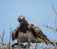 Военный орел стоковое фото