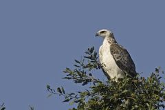 Военный орел {Polemaetus Bellicosus} стоковое изображение