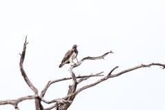 Военный перепад Okavango орла Стоковое фото RF