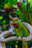 2 военных попугая ары сидя на ветви перед пальмами стоковая фотография