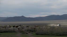 Вождение автомобиля за скотинами в монгольском ландшафте сток-видео