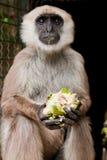 возглавленная белизна lemur Стоковое фото RF