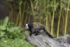 возглавленная белизна marmoset стоковое изображение rf
