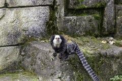 возглавленная белизна marmoset стоковое изображение