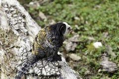 возглавленная белизна marmoset стоковая фотография rf