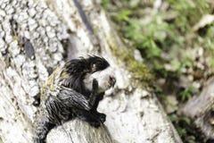 возглавленная белизна marmoset стоковые фотографии rf
