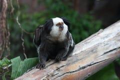 возглавленная белизна marmoset Стоковые Фото