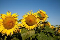 возглавляет солнцецвет Стоковая Фотография