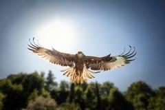 Возглавьте на взгляде охотиться красный змей с солнечным светом позади Стоковая Фотография RF