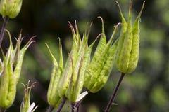 Возглавленное семя Aquilegia Стоковые Изображения RF