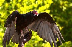 возглавленный красный хищник Стоковая Фотография