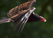 возглавленный красный хищник Стоковые Изображения RF