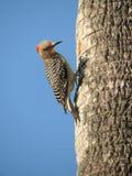 возглавленный красный woodpecker Стоковые Изображения RF