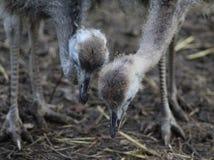 возглавляет страуса стоковые фотографии rf