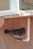воздух подготовил dove Стоковые Изображения RF