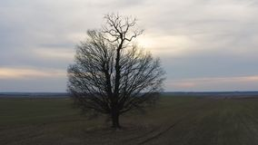 Воздушная съемка двигая по орбите уединенное дерево на заходе солнца акции видеоматериалы