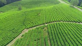 Воздушное видео плантации зеленого чая обнаруживает местонахождение рядом горный склон в городе Boseong, Южной Корее Воздушное ви сток-видео