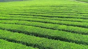 Воздушное видео плантации зеленого чая обнаруживает местонахождение рядом горный склон в городе Boseong, Южной Корее Воздушное ви видеоматериал