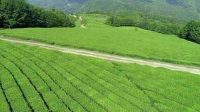 Воздушное видео плантации зеленого чая обнаруживает местонахождение рядом горный склон в городе Boseong, Южной Корее Воздушное ви акции видеоматериалы