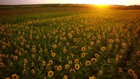Воздушное поле стрельбы солнцецветов в лете Чудесное сельское Ла Стоковая Фотография RF